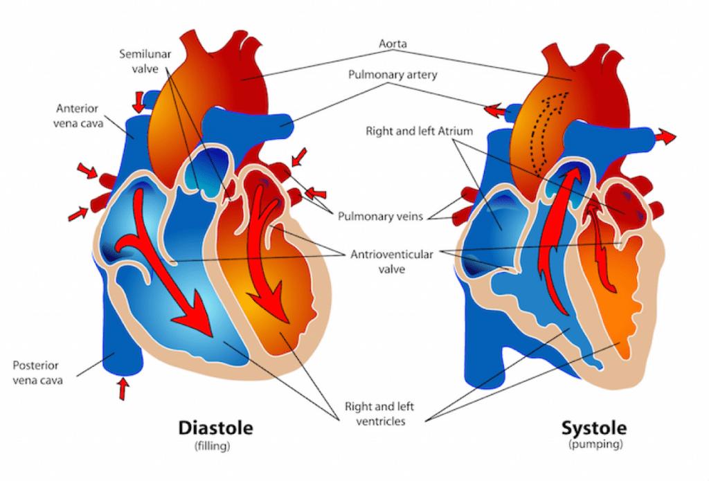diastole-systole