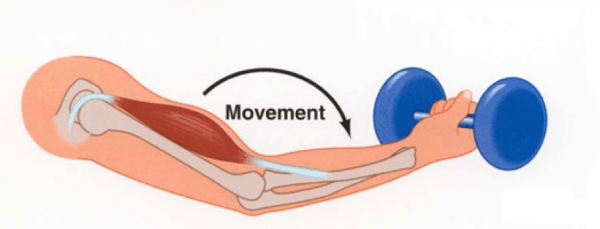 Concentric and Eccentric Contractions | Pocket Prep