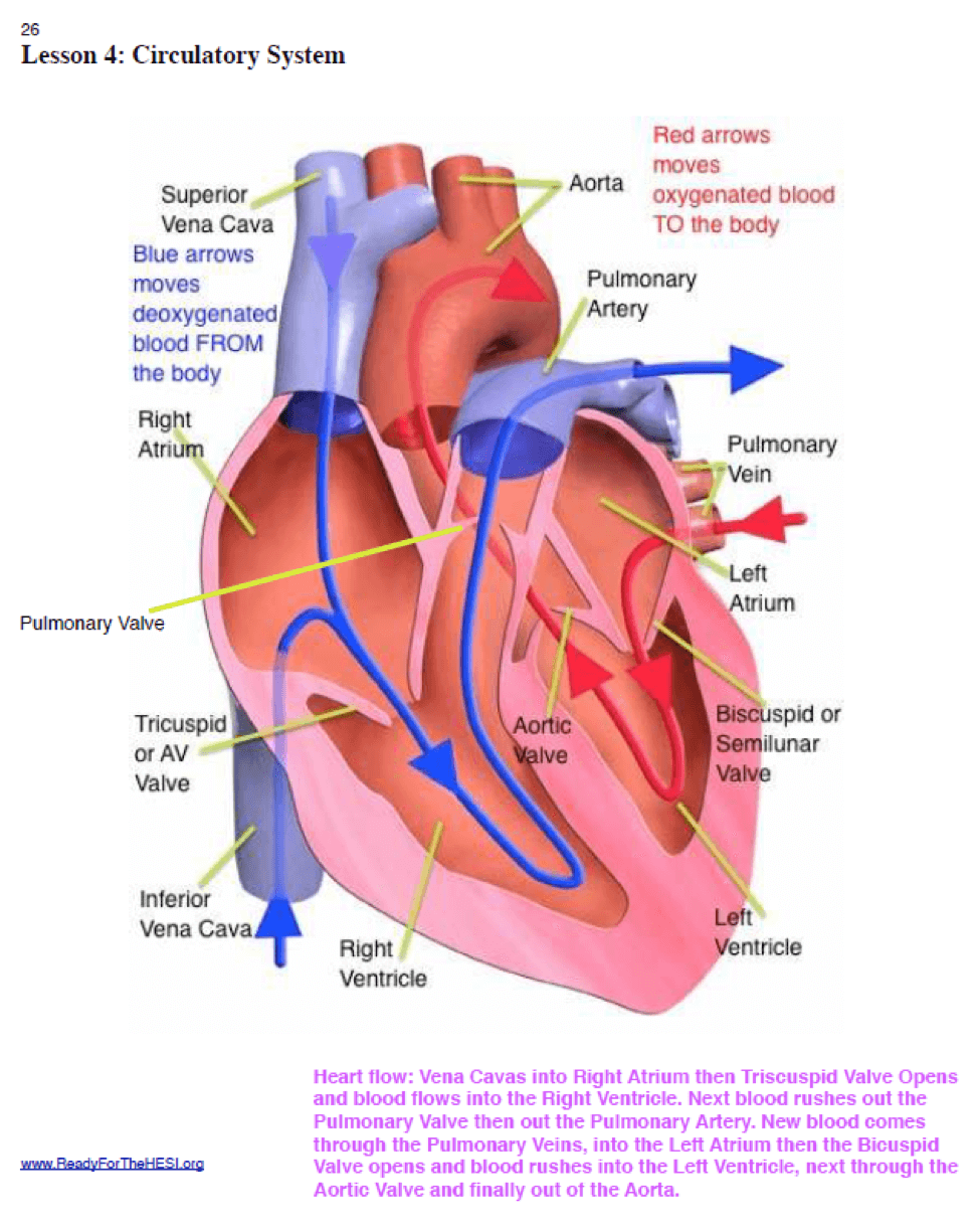 The ultimate guide to scoring high on the hesi a2 anatomy and there are two kinds of blood flows in the complex organ of the heart one flow takes deoxygenated blood away from our body to the heart and the other flow pooptronica