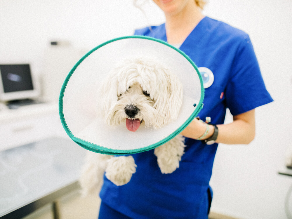 A veterinarian holds a small dog with a soft cone around its neck in a medical room.