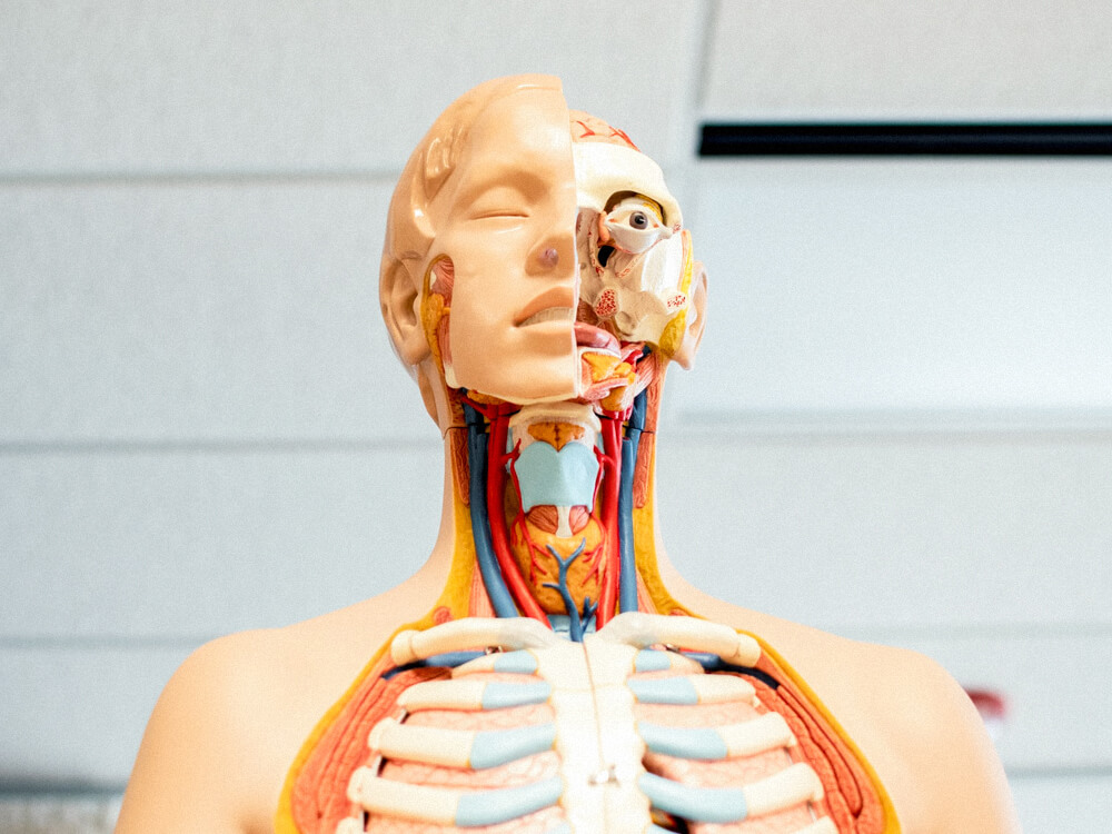 An educational dummy that shows the body parts underneath the skin.