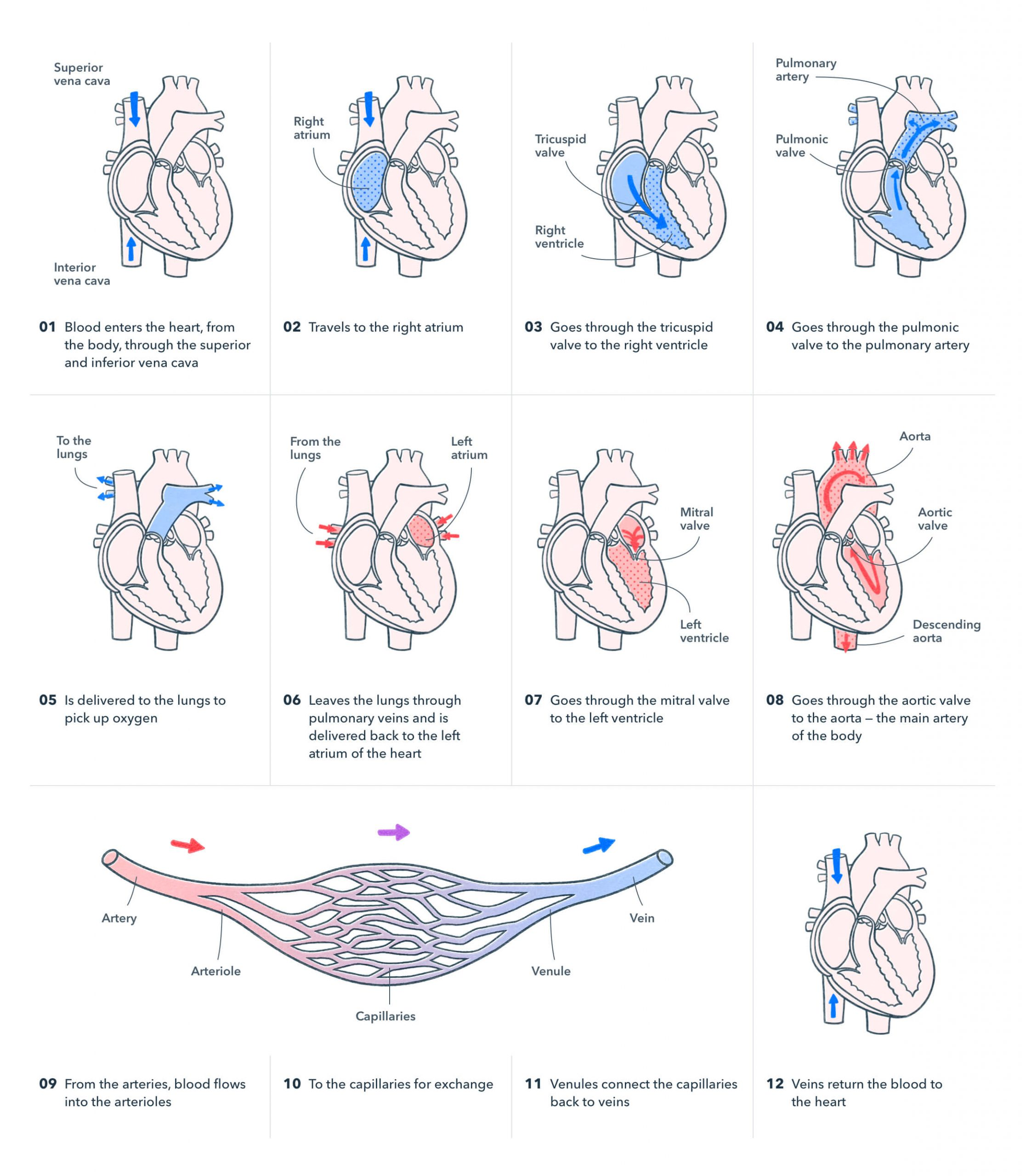 Twelve-step diagram showing how blood enters and exits the human heart. Illustration.