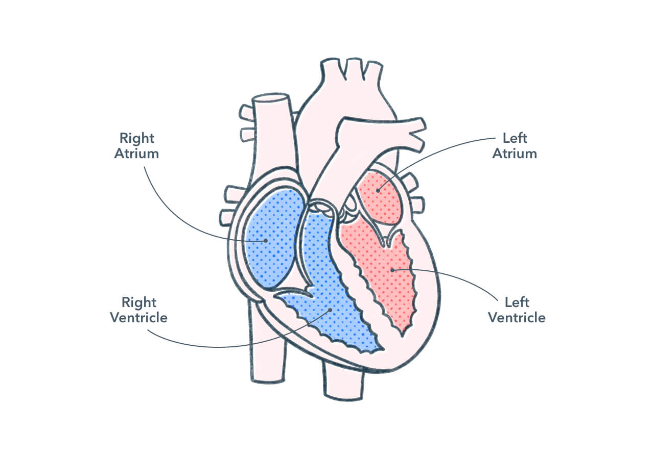 Anatomy and Physiology of the Human Heart   Pocket Prep