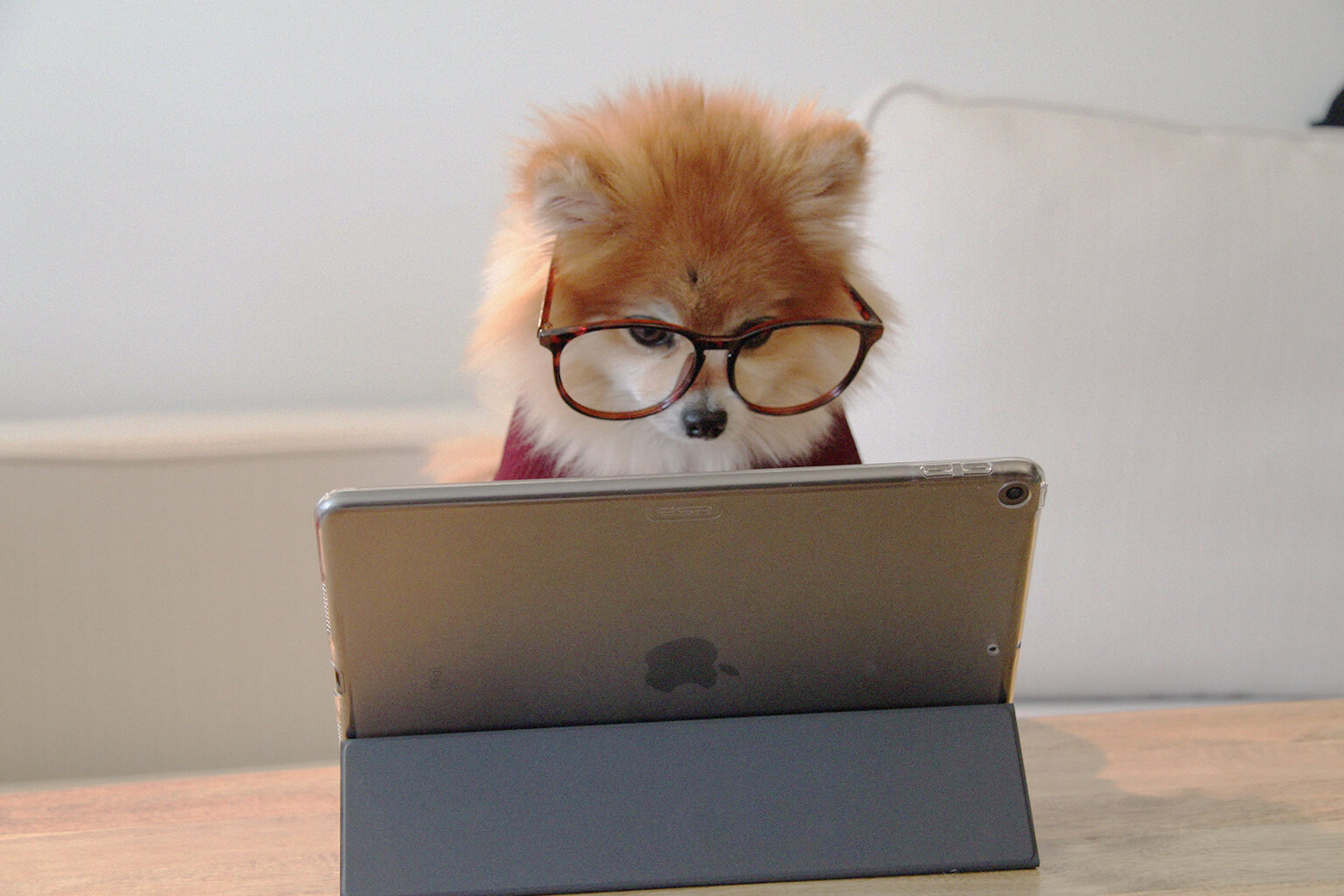 Pomeranian dog wearing glasses looking at a tablet screen.