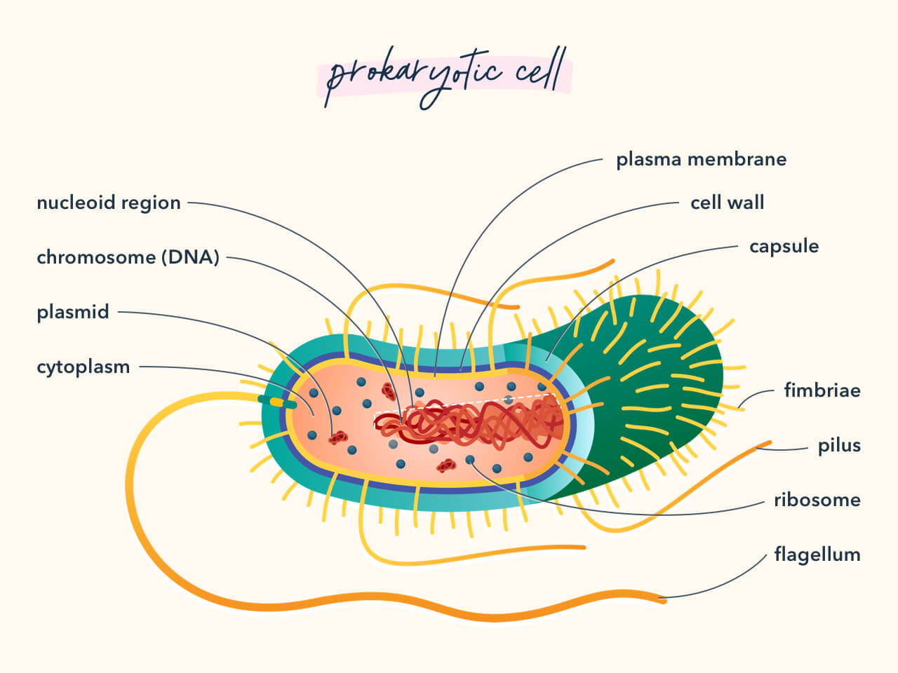 Diagram showing the components of a prokaryotic cell.