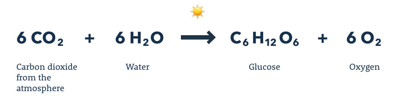 Diagram showing the molecular components of photosynthesis.