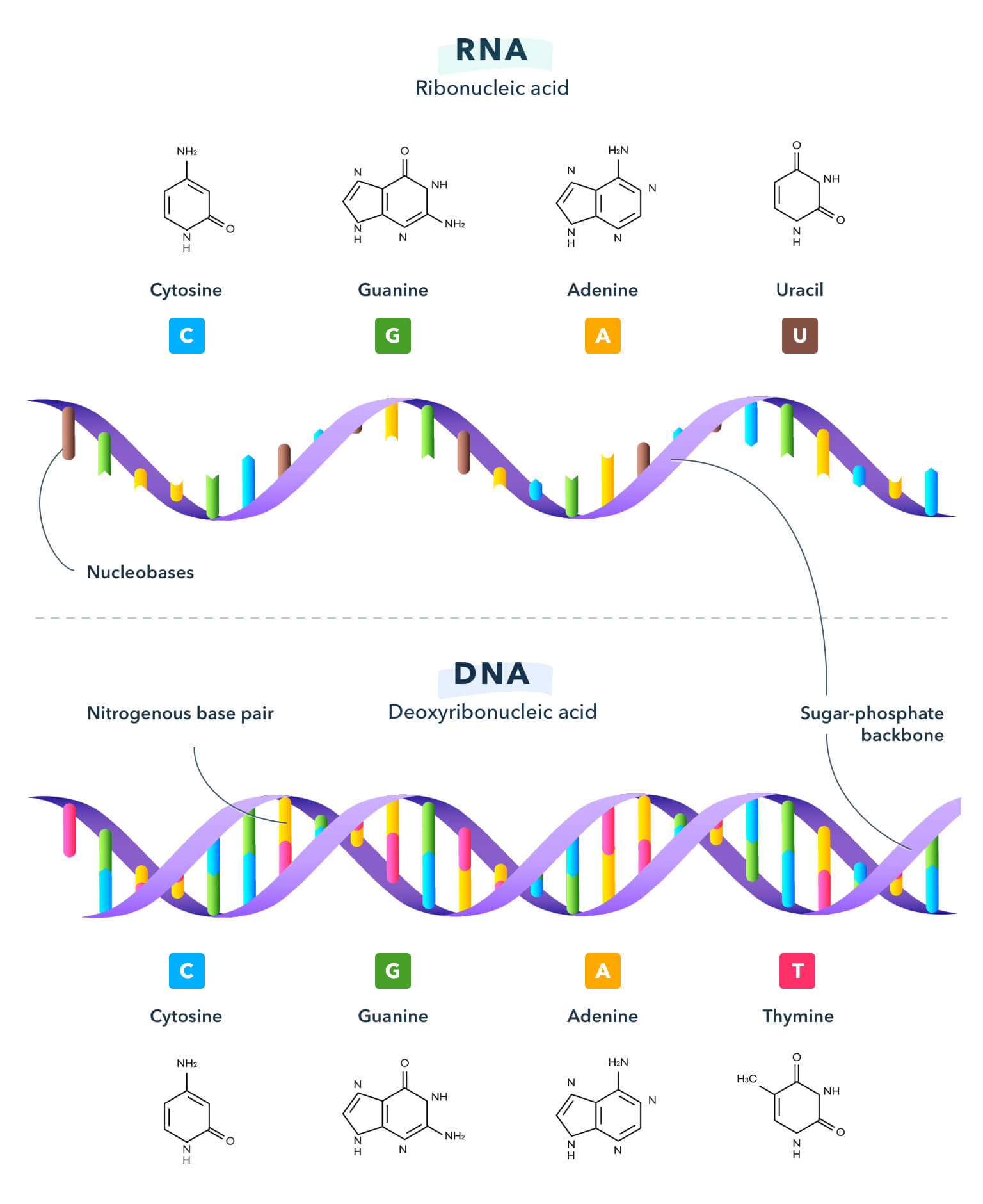 Diagram showing the components of RNA and DNA.