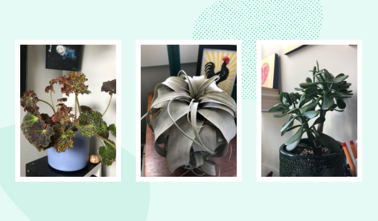 Three individual pictures featuring a rex begonia, air plant, and jade plant in a home office setting.