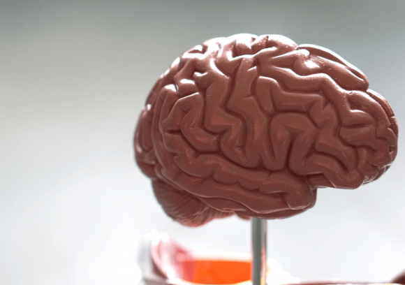 Side view of a model of a human brain on a desk.